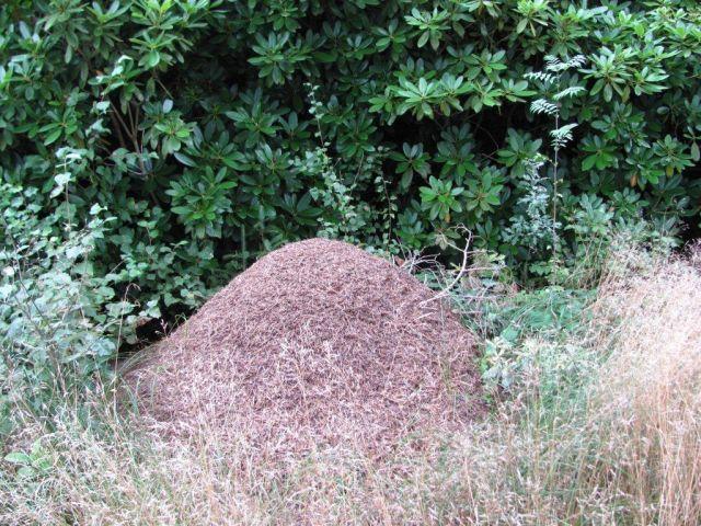 3-en myretue af de store  dem var der ogsa flere af